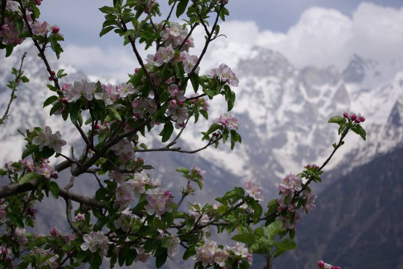 Apple orchard in Kalpa.