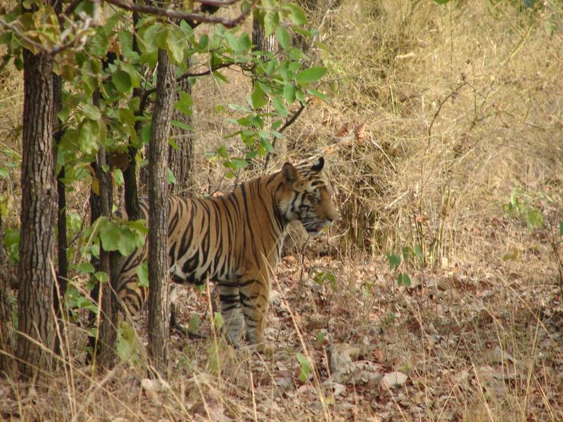 Tiger in Bandhavgarh national park.