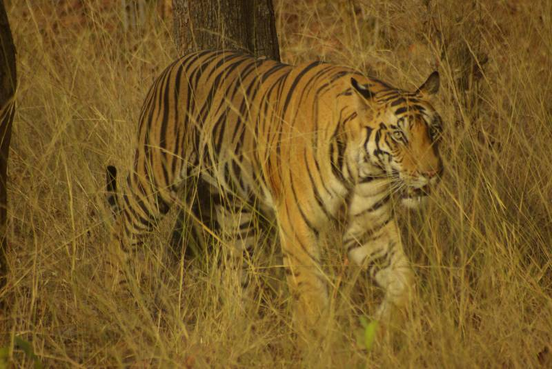 Male tiger in Bandhavgarh