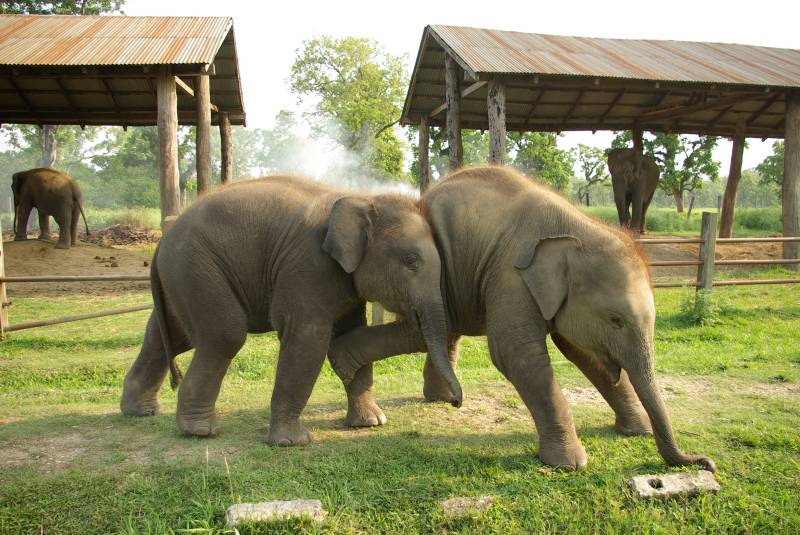Elephant babies playing by Sauraha near Chitwan.