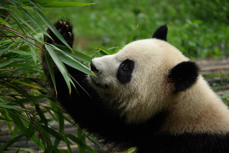 Giant Panda eating bamboo.