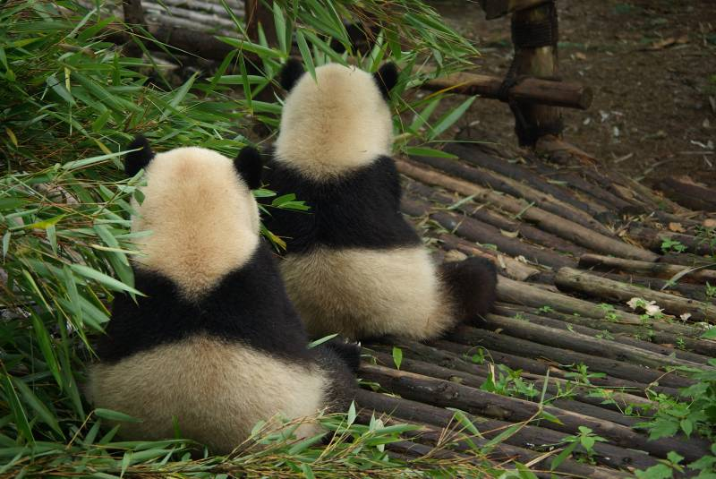 Pandas in the Giant Panda Breeding Research Base north of Chengdu.