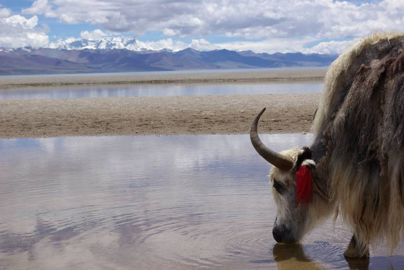 Yak by Namtso lake.