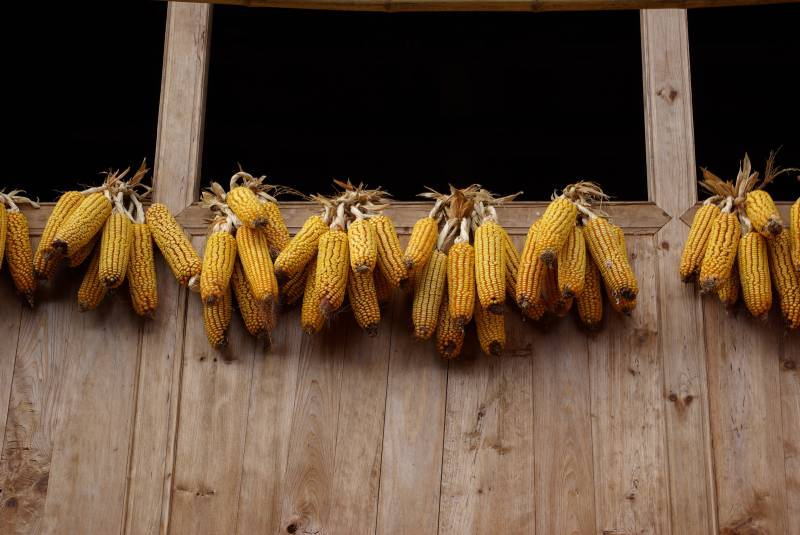 Corn cobs in Longji village.
