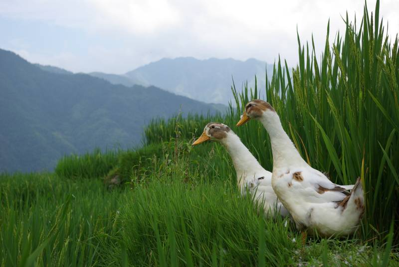 Ducks in a Longji rice field.