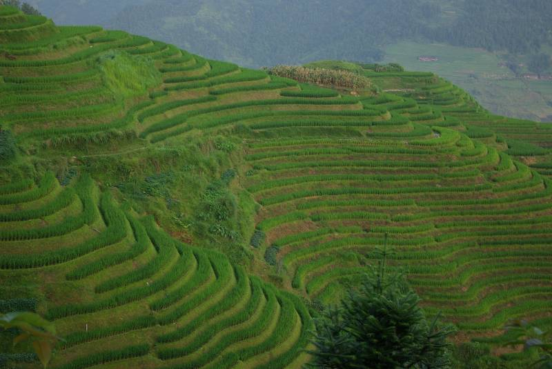 Longji terraced rice fields.