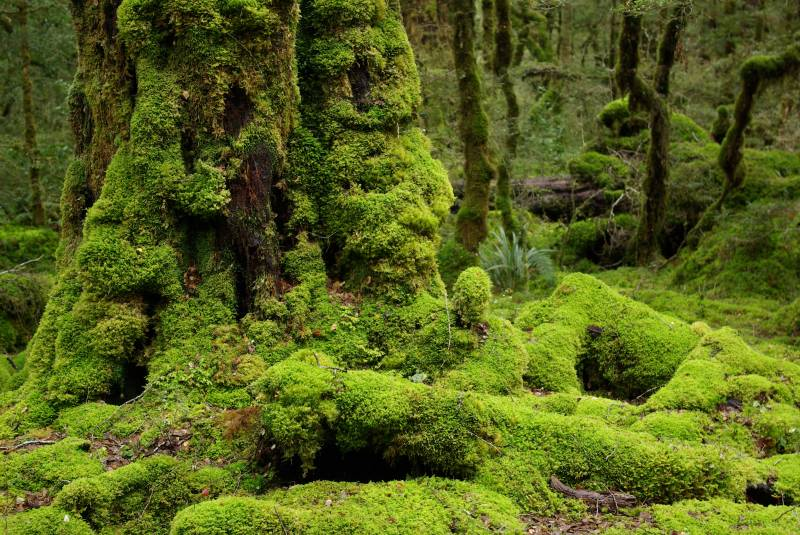Mossy forest by Lake Gunn.