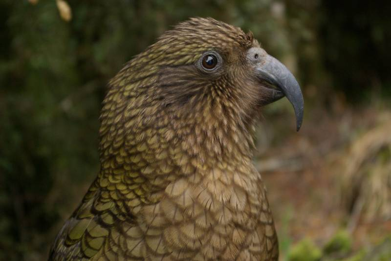 Kea alpine parrot in Milford Sound.