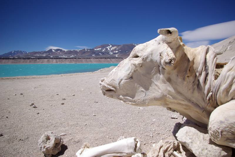 Naturally mummified cow by Laguna Verde.