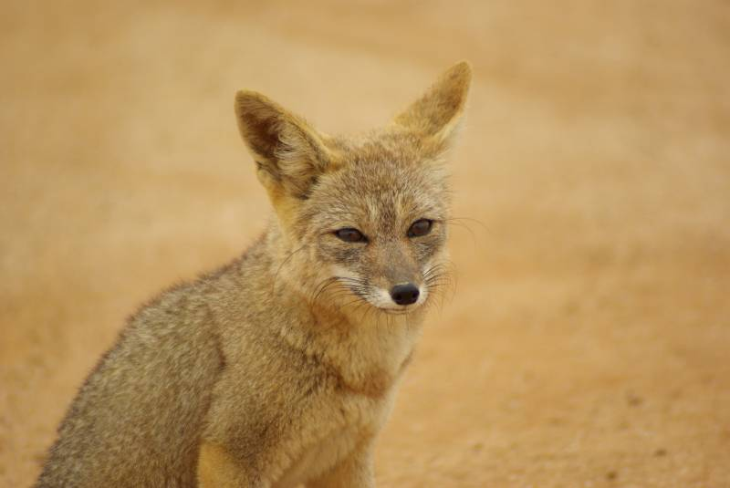 Desert fox in the Pan de Azucar national park.