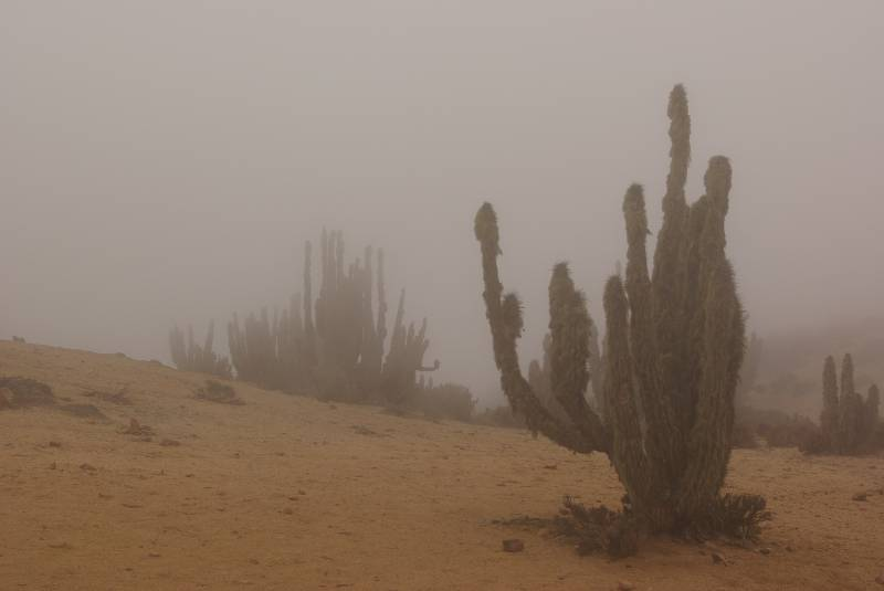Cactus in the mist.