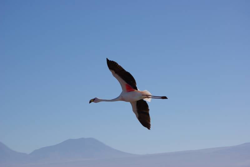 Flamingo flying over Laguna Chaxa.