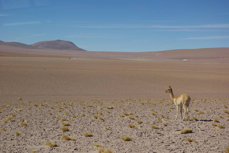 Vicuña in the Atacama desert.