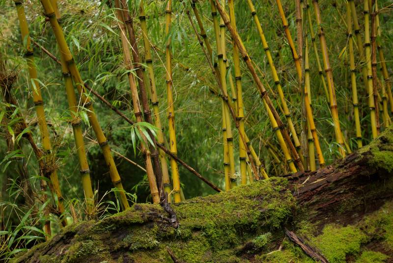Bamboo in the Huerquehue national park.
