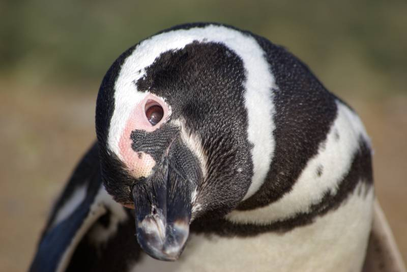 Magellanic penguin on Isla Magdalena.