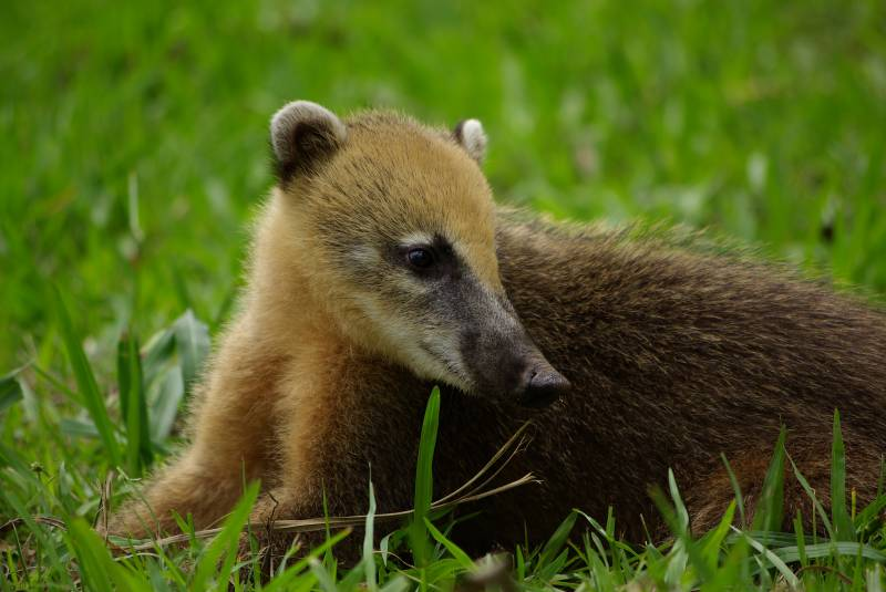 Coati at the Iguazu falls.