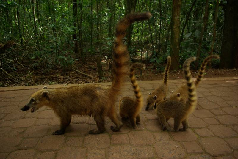 Coati with babies at the Iguazu falls.