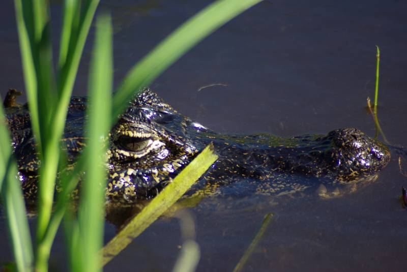 Black Caiman in the Ibera wetlands.