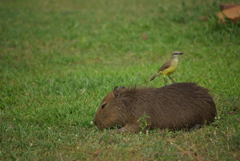 Baby capybara with friend in the Ibera wetlands.