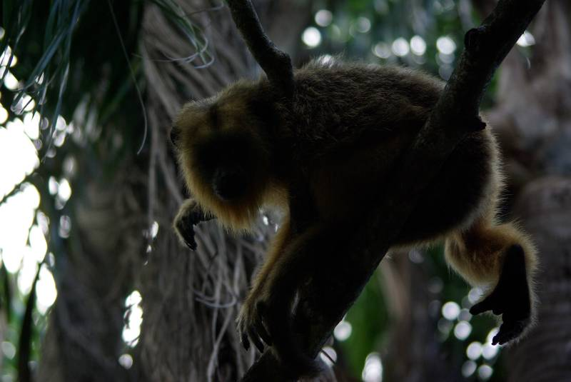 Howler monkey in the Ibera wetlands.