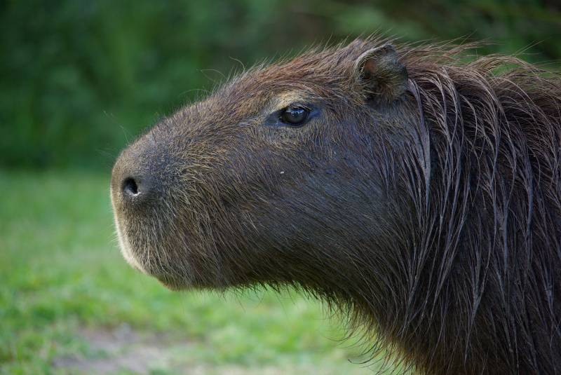 Capybara in the Ibera wetlands.
