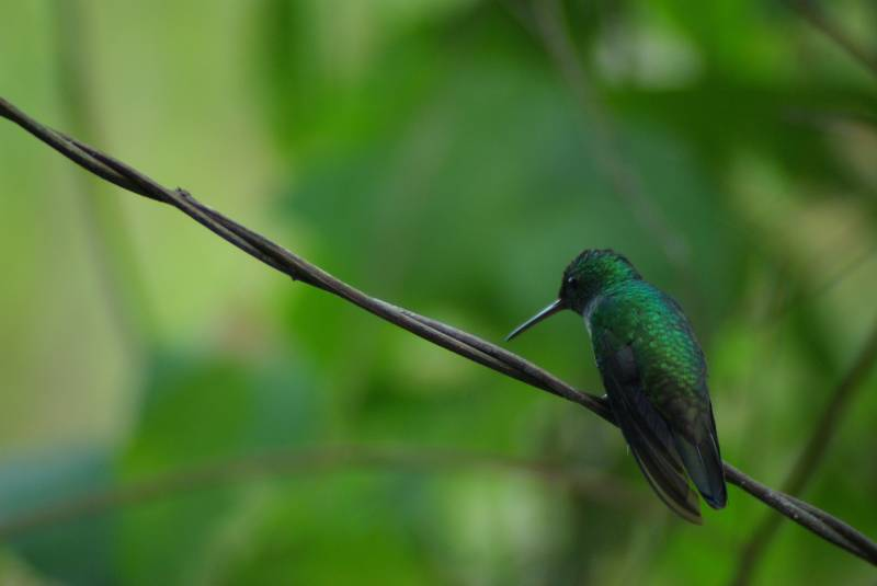 Hummingbird in Soberania national park.